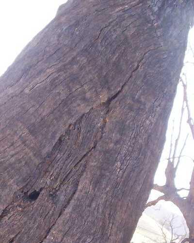 scartree.jpg